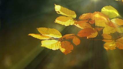 Autumn Beech Leaves and Sun Rays