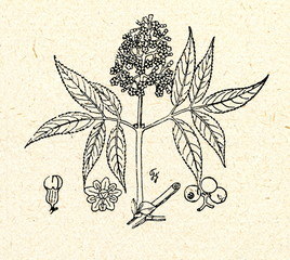 Red Elderberry.(Sambucus racemosa)