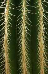 Echinocactus grusonii, Cactaceae, Mexico