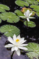 Water lilly, Lotus