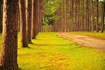 Autumn Pine Forests