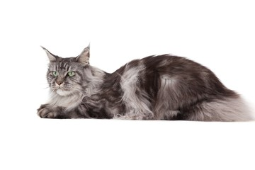 Cute maine coon lying alone