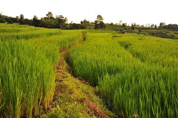 Rice Terraced Fields