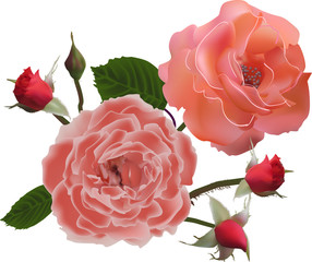 light red roses and four buds isolated on white