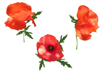 three poppy flowers illustration