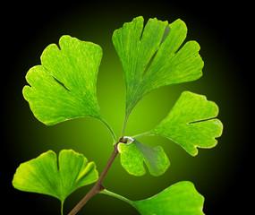 Green ginkgo biloba