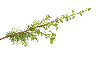 isolated single green  junipe branch
