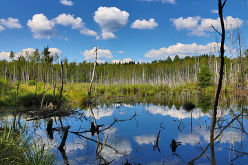 swamp in green birch forest