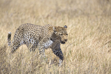 Wild leopard walking in the grass
