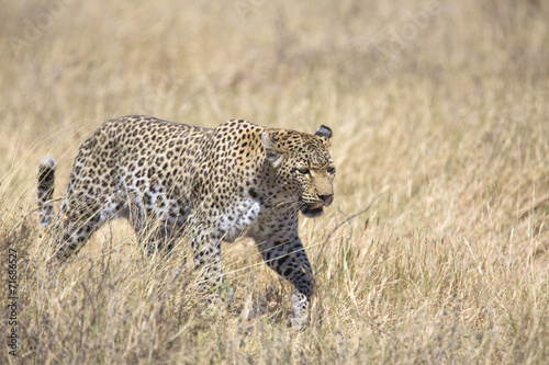 Tuinposter Luipaard Wild leopard walking in the grass
