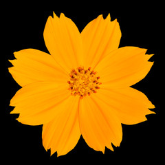Yellow Singapore Daisy Wildflower Isolated on Black