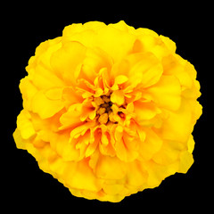 Yellow Marigold Wild Flower Isolated on Black Background