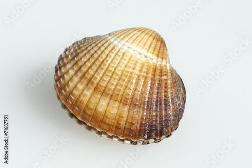 Herzmuschel, Cerastoderma, edule, - 71687791