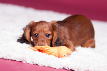 Sausage dog_puppy