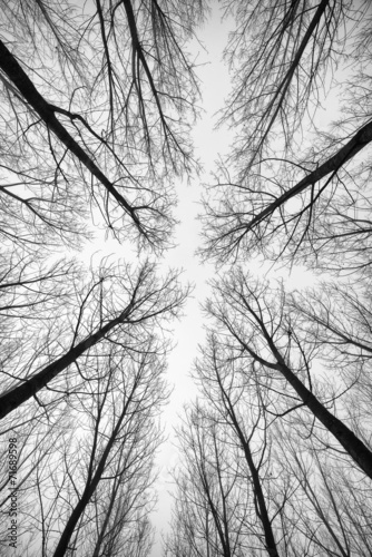 Fototapeta na wymiar Black and white forest of trees photographed from below