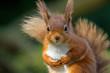 Red Squirrel looking so cute - 71689771