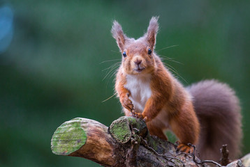 Red Squirrel pleased to see me