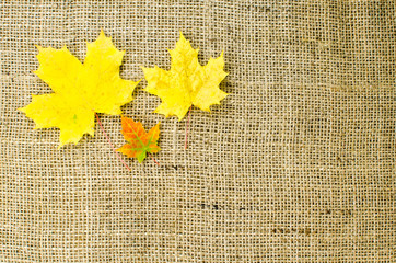 Colored maple leaves at burlap