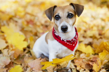 Portrait of Beautiful dog in golden autumn park