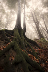huge tree with roots in a misty forest