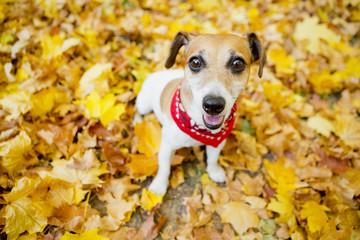 Cute dog walking golden autumn park