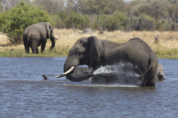 African elephants taking a bath in a a river