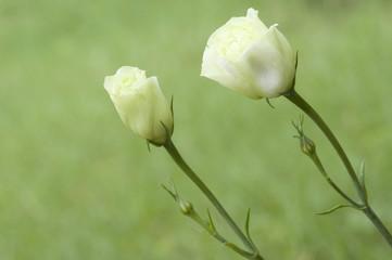 Beautiful white rose in a garden