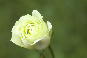 Beautiful white rose in a garden