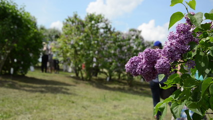 blooming lilac tree branch and blurred tourist pregnant woman