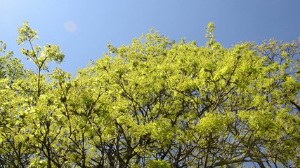 Spin view of green maple tree branch move in wind over blue sky