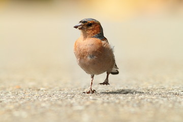 male common chaffinch on park alley