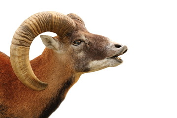 mouflon portrait on white