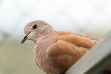 portrait of eurasian collared dove