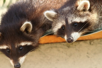 raccoons at the zoo