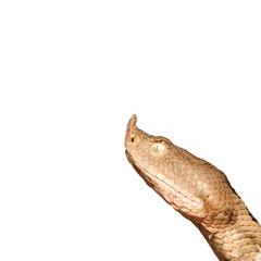 sand viper head over white