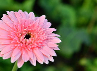 Pink gerbera flowers fresh.