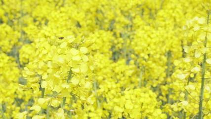 Rapeseed flower in field