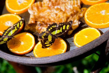 Black-and-yellow butterfly feeding on oranges