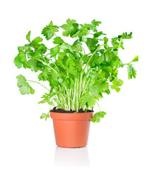 Fresh parsley growing in a pot on a white background.