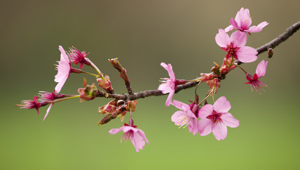 Branch of cherry V