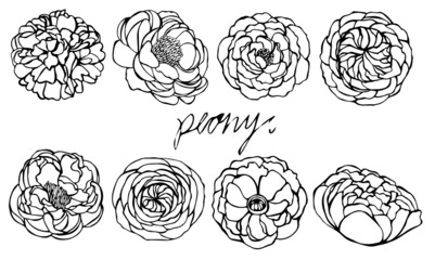 Set of peony vector on white background