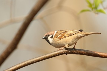 Eurasian Tree Sparrow (Passer montanus) on a branch