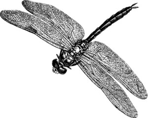 Vintage graphic insect dragonfly
