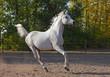 Running Arabian horse, Shagya arab