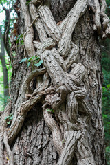 Tree trunk entwined with ivy