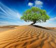 Leinwandbild Motiv Lonely green tree in desert dunes
