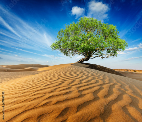 Lonely green tree in desert dunes - 71705358