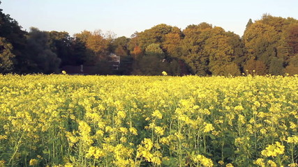 Rapeseed field in a sunny autumn day in Belgian countryside.