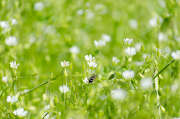 Fresh green meadow with little white flowers and insects