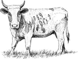cow gazing